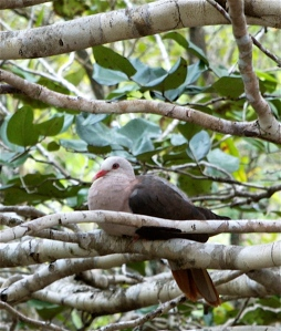 The beautiful Mauritian Pink Pigeon is a conservation success story