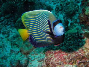 Marine fish in the Maldives