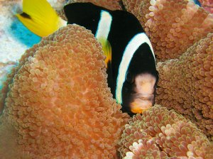 Marine fish in anemone, Maldives