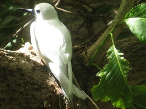 Seychelles birdlife on Cousin Island
