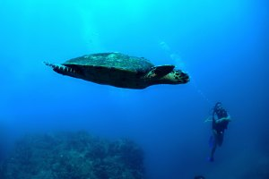 Sea turtle swimming in Madagascar