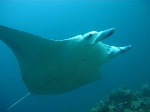 Manta Ray at Constance Moofushi